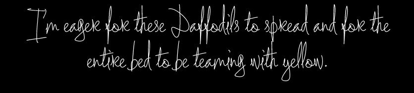 Daffodils-spread
