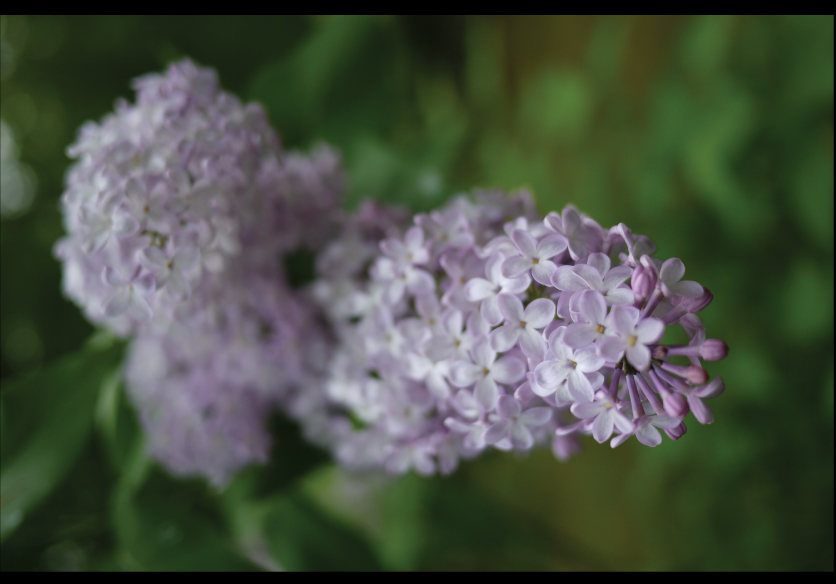 lilacs-in-bloom-at-the-country-house