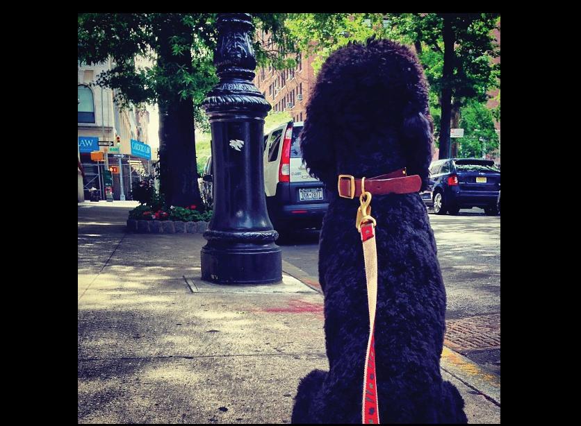 Tauren-Poodle-takes-NYC