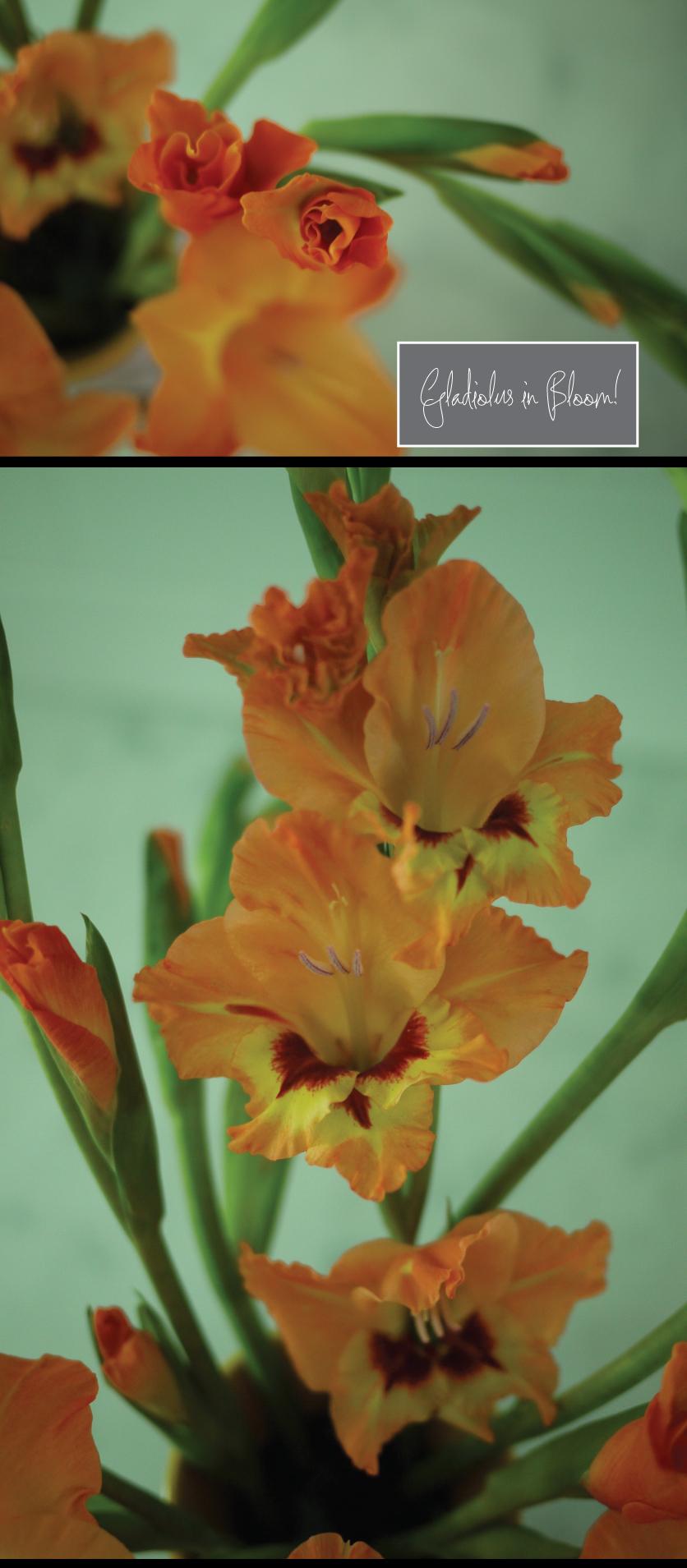 gladiolus-in-bloom