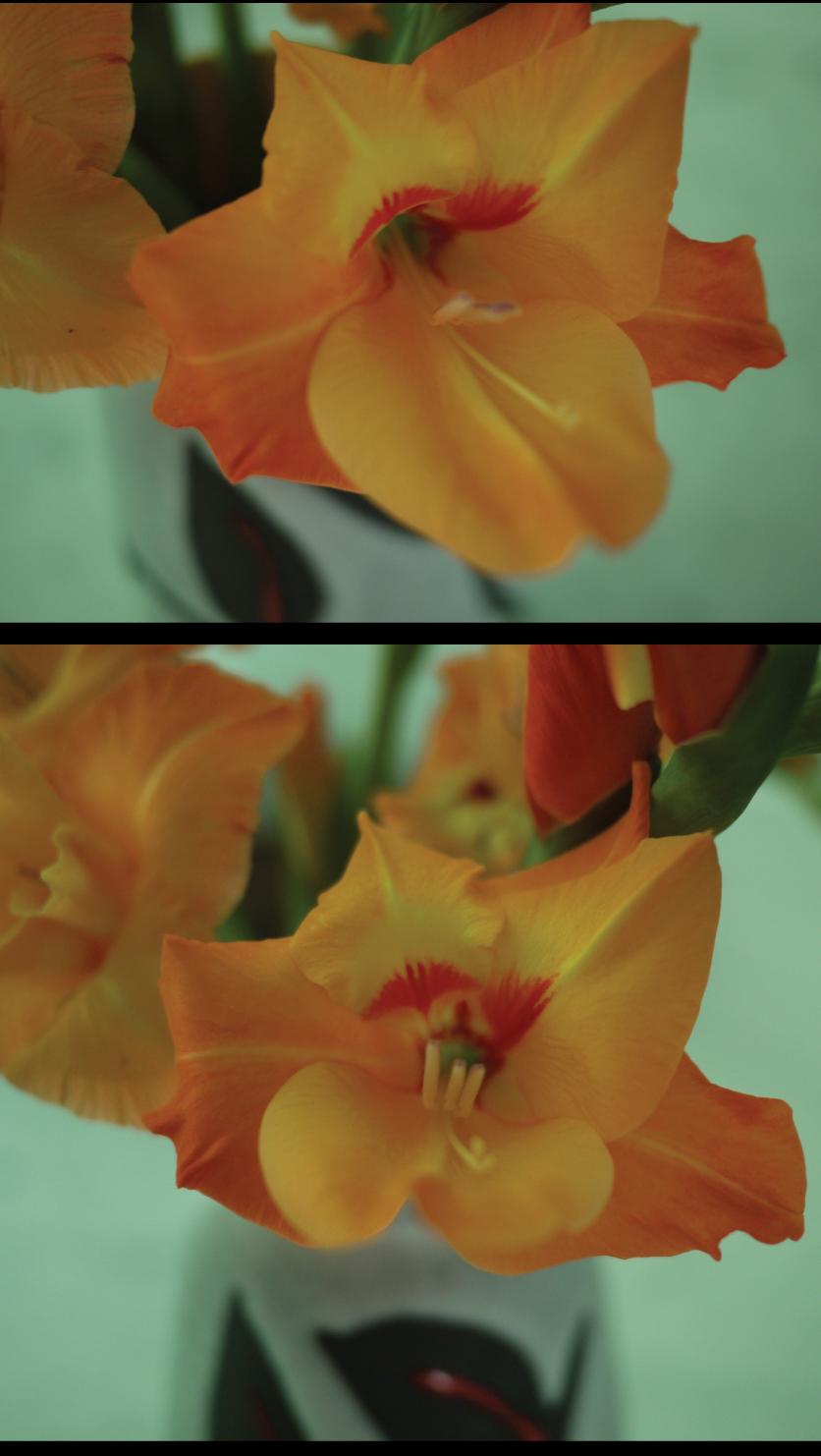 orange-coral-gladiolus