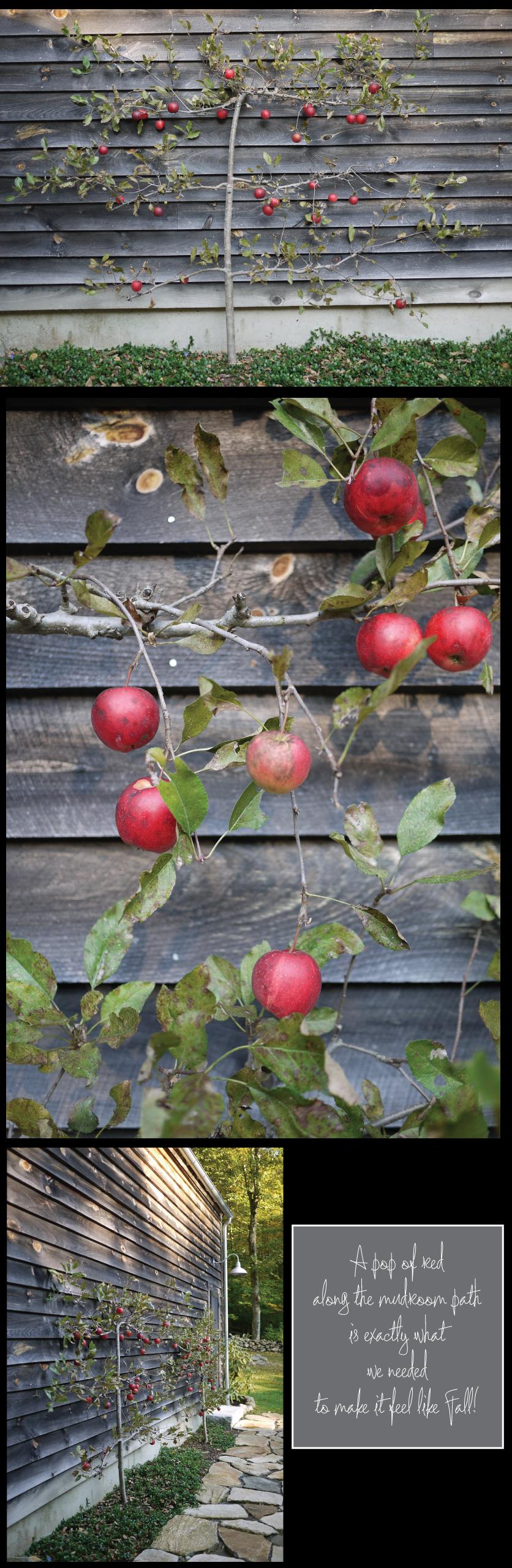 Espalier-Apple-Trees-on-the-Barn