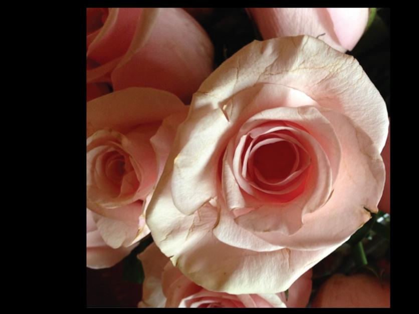 pale-pink-rose