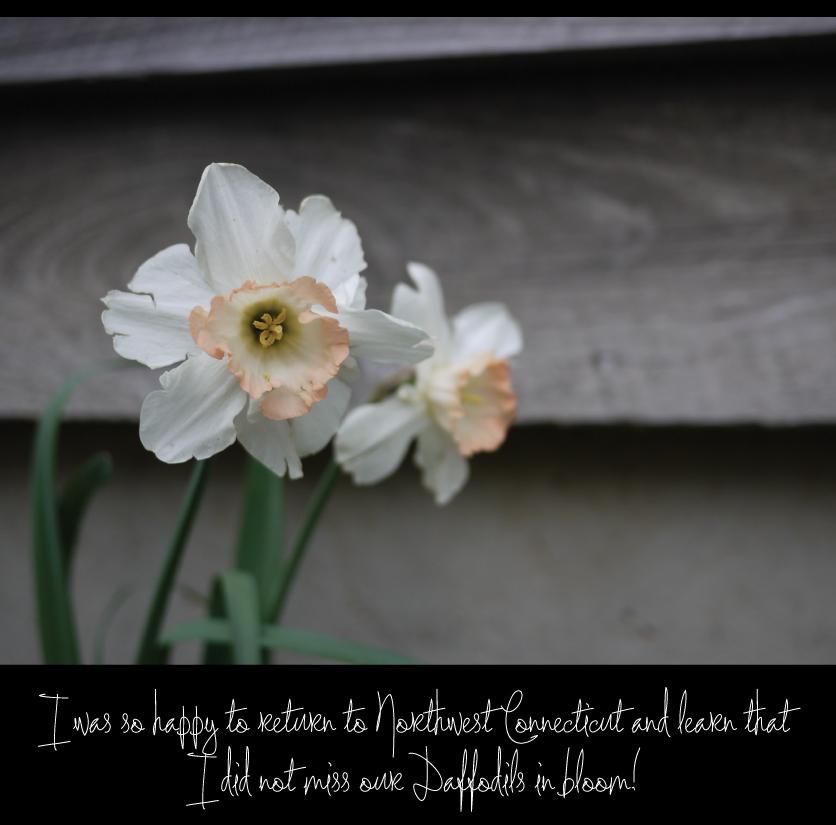 Pink-Charm-Daffodils