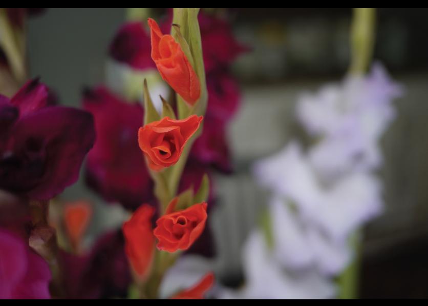 Flame-color-Gladiolus