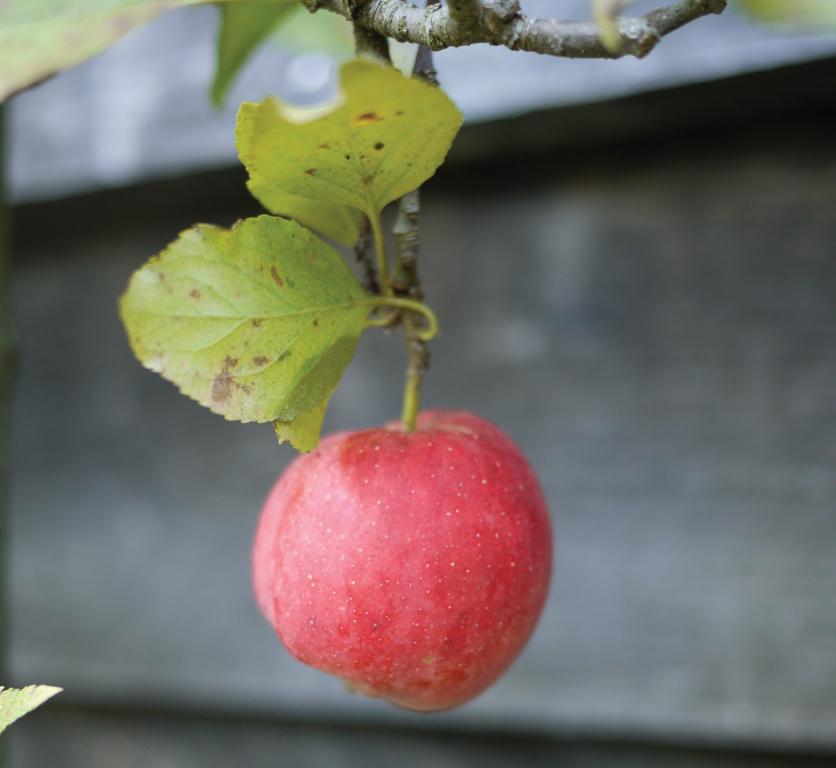 Espalier-Apple-Tree