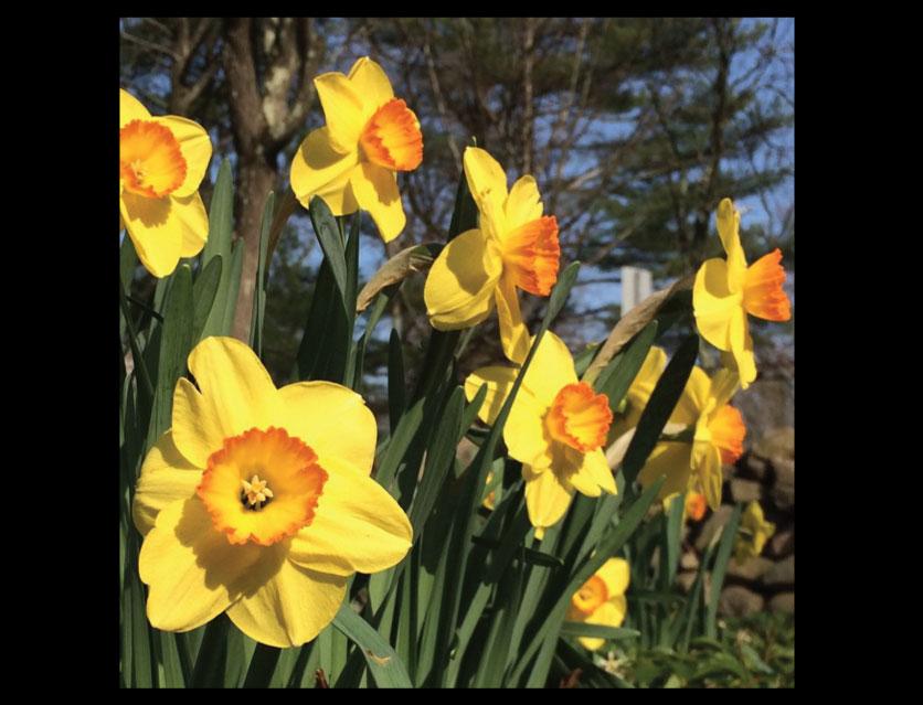Daffodils-in-Bloom